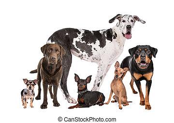 csoport, kutyák, nagy