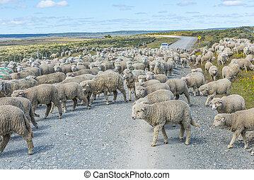 csorda, del, sheep, út, tierra, fuego
