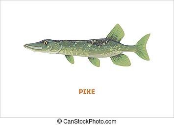 csuka, elszigetelt, fish.