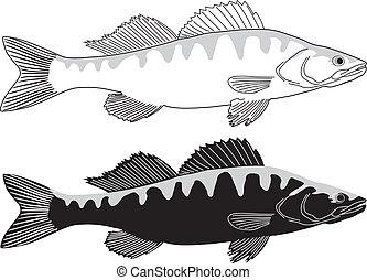 csuka, fish, -, sügér