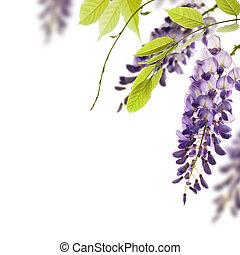 dekoratív, wisteria, szög, zöld, elem, menstruáció, háttér., zöld white, határ, felett, oldal