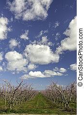 drámai, elhomályosul, őszibarack, gyümölcsöskert, virágzó