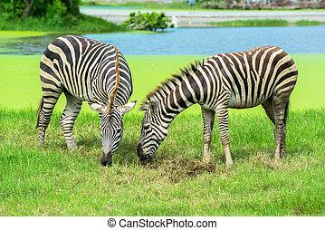 egyenes zebra, állatkert
