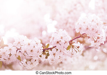 elágazik, menstruáció, virágzó, cseresznye, eredet