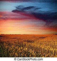 elhomályosul, szépség, mező, napnyugta, idő, búza