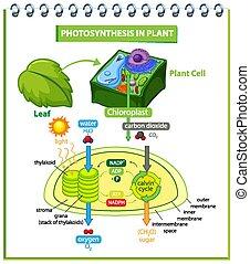 eljárás, fotoszintézis, berendezés, kiállítás, ábra