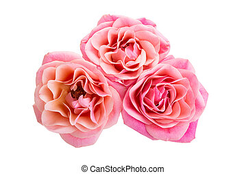 elszigetelt, agancsrózsák, rózsaszínű