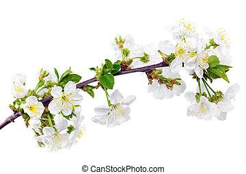 elszigetelt, háttér., gally, elágazik, fehér, blossoms.