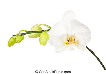 elszigetelt, háttér., virágzó, fehér, gally, orhidea