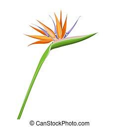 elszigetelt, narancs, egzotikus, tropikus, fehér, vagy, paradise., madár, strelitzia, virág, háttér.