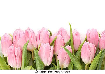 elszigetelt, rózsaszínű, gyönyörű, fehér, becsuk, tulipánok, háttér, feláll