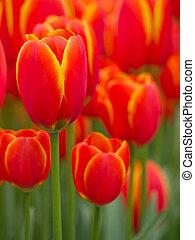 elvont, feláll sűrű, sárga, tulipánok, piros
