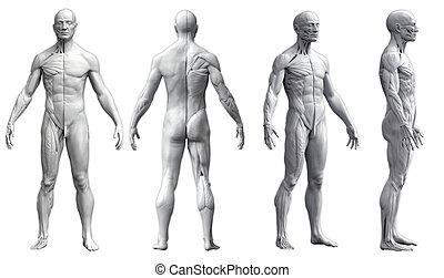 emberi anatómia nézet