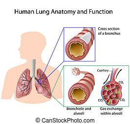 emberi, &, anatómia, tüdő, eps8, estély