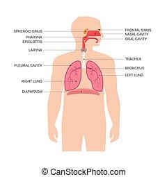 emberi anatomy, légzőrendszer
