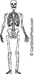 emberi csontváz