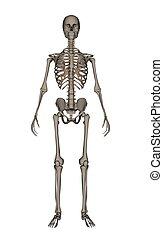 emberi, -, csontváz, render, 3