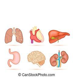 emberi, orgánum