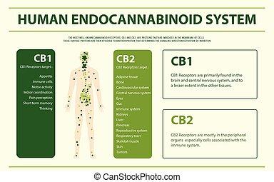 emberi, rendszer, infographic, endocannabinoid, horizontális