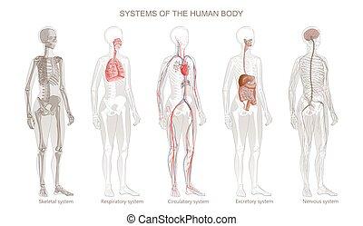 emberi, systems., csontváz-, vektor, ideges, integumentary, emésztő, exocrine, keringési, test, rendszerek, légzési, ábra
