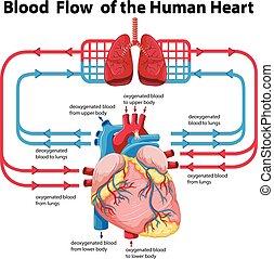emberi szív, kiállítás, folyik, vér, ábra