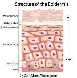 epidermisz, bőr
