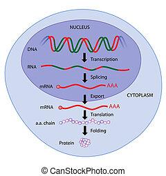 eps8, kifejezés, gén