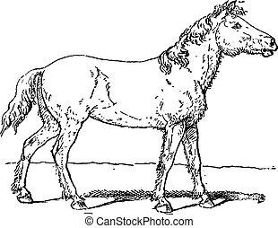 equus, vagy, metszés, tarpan, szüret, ferus