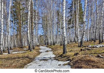 erdő, nyírfa, napos, megható, eredet, táj, hó, korán