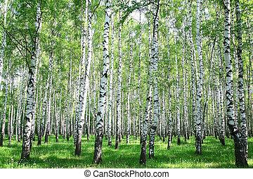 eredet, erdő, nyírfa