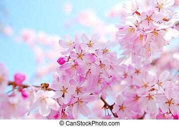 eredet, közben, kivirul, cseresznye