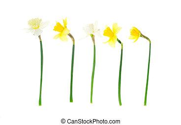 eredet, kert, nárciszok, fehér, háttér., fénykép