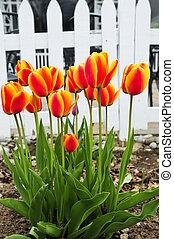 eredet, kert, tulipánok