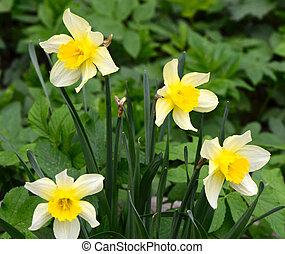 eredet, nárciszok, kert