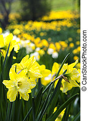 eredet, nárciszok, liget, virágzó