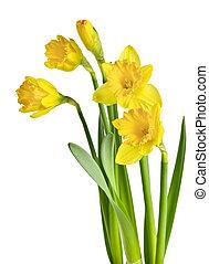 eredet, nárciszok, sárga