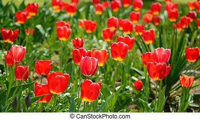 eredet, napos nap, piros, tulipánok
