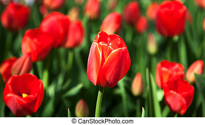 eredet, piros tulipán