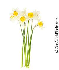 eredet, tender, kert, fehér, háttér., nárciszok