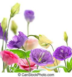 eustoma., színes, virágzó