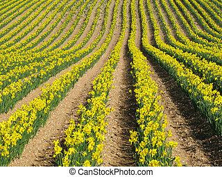 evez, eredet, nárcisz sárga, field., angol, menstruáció