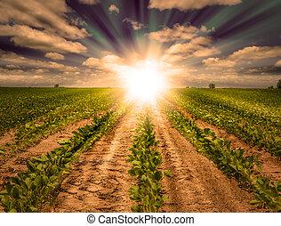 evez, tanya, erős, termés, mező, napnyugta, szójabab