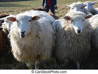 ewes, romney