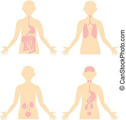 excretory, body., emésztő, health., anatómiai, systems., endokrin, emberi, légzési, tervez, image.