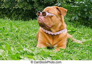 fárasztó, rózsaszínű, ellen-, kert, nyár, fajta, kutya, dogue, bordeaux-i, gallér, szemüveg