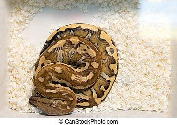 fénykép, fiatal, felül, kígyó