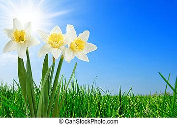 fű, gyönyörű, nárcisz