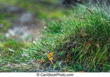 fű, zöld, savanyúcukorka, harmat