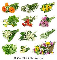 fűszernövény, friss, gyűjtés, gyógyító