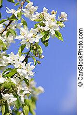 fa ág, alma, virágzó